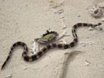 Serpent tricot rayé thailande